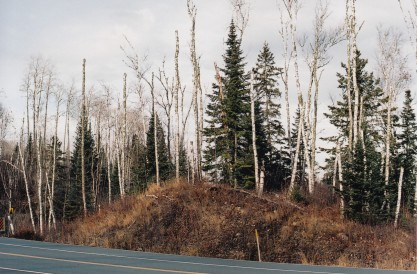 ... a grove of birch along Highway 1 on the road to Ely, Mn where lumbering, taconite mining and the effects of acid rain can be seen ...