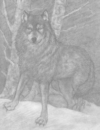 timber_wolf_drawing