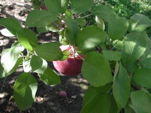 apple / photo