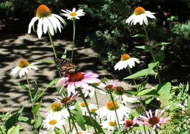 coneflower_monarch