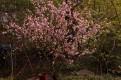 China Rose Tree