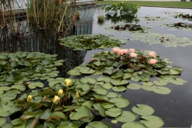 water-lilies_0175-1