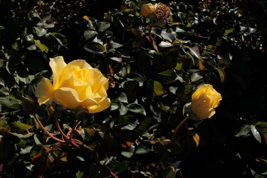 yellow_rose_1923