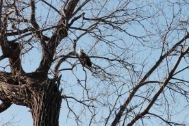 eagle_2108