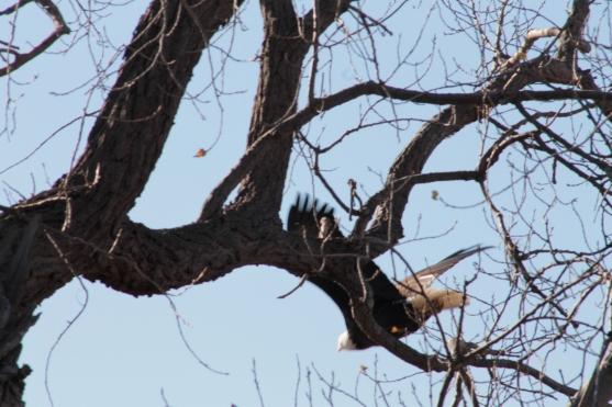 eagle_2112