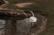 swan_3801