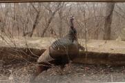 wild_turkey_3876
