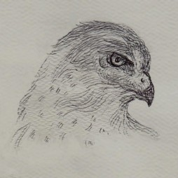 hawk_profile_drawing